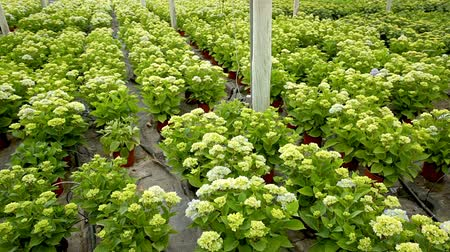 hortênsia : Hydrangea or hortensia. Field of potted green flowers in hothouse