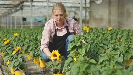 горшках : Smiling female florist showing potted ornamental sunflower grown in her greenhouse