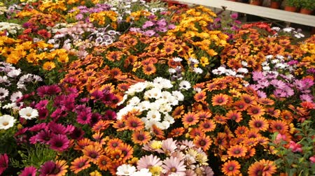 kertészeti : Close up of assortment of African daisies growing in greenhouse farm Stock mozgókép