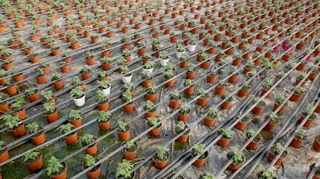 koşullar : Picture of seedlings of tomatoes growing in pots in hothouse, nobody