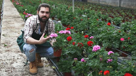 опытный : Owner of greenhouse business examiner quality of growing pelargonium in pots Стоковые видеозаписи