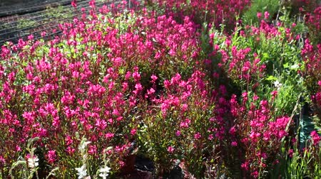 çekicilik : Closeup of potted flowering pink plants growing in hothouse Stok Video