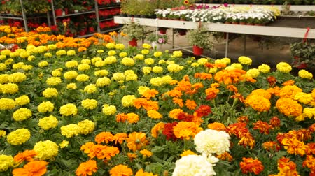 marigolds : Image of colored plants in sunny hothouse, nobody