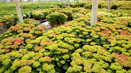 sazenice : Hydrangea or hortensia. Field of potted green flowers in hothouse