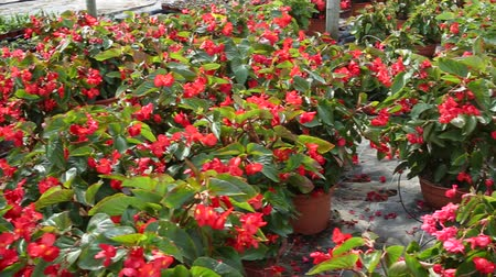 floriculture : Row of pots with flowering red begonia semperflorens cultivated in modern hothouse