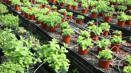 горшках : View of potted small bushes of mint. Growing mint in hothouse