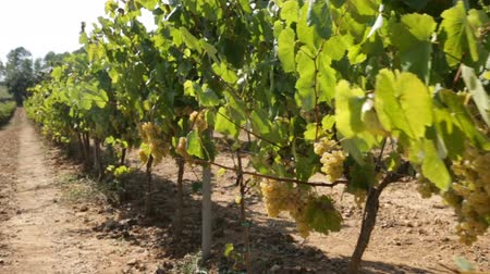 sklizené : Ripe white grapes hanging on green vine ready to be harvested in sunny vineyard
