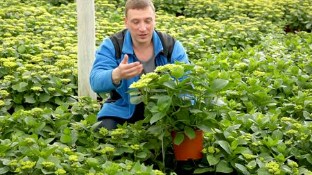 hortênsia : Confident male florist working in hothouse, inspecting Hydrangea seedlings in pots