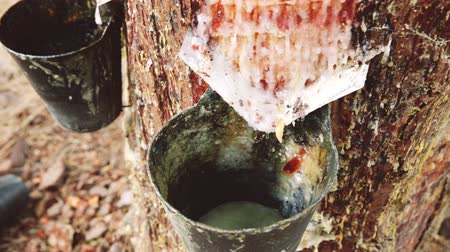 liquid : Cuts on pine trunk to collect resin