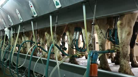 smoczek : Cows with milking machine at rotary parlour system of dairy farm