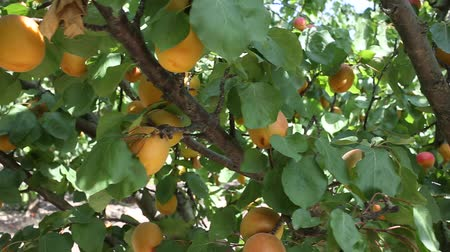 çekicilik : Closeup of green apricot tree branches with ripe juicy fruits in garden. Harvest time Stok Video