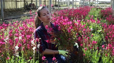 virágárus : Young experienced female worker gardening in glasshouse, checking flowering ornamental plants in pots
