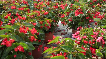 floriculture : Colorful plantation of blooming potted begonia growing in greenhouse