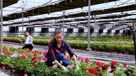 герань : Experienced workers gardening in glasshouse, checking flowers of geranium