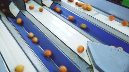 kertészeti : Fresh apricots on conveyor line of sorting and packaging