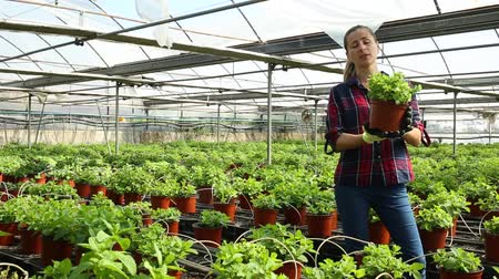 опытный : Successful female owner of glasshouse controlling process of growing of fresh melissa planted in pots Стоковые видеозаписи