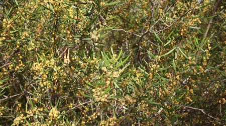 çekicilik : Closeup of Acacia dodonaeifolia globular yellow flower heads on green leaves background in spring