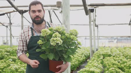 ortanca : Positive man florist looking for plant of  hortensia in pots while gardening in hothouse Stok Video