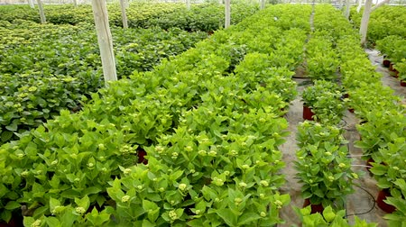 hortensia : Hydrangea. Green plantation of new-blown flowers cultivated in greenhouse