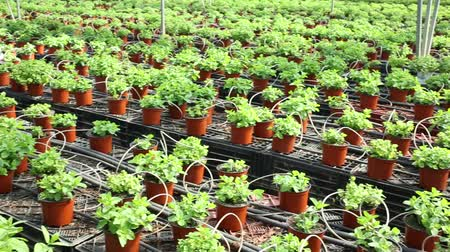 fodormenta : Rows of pots with fragrant organic mint seedlings growing in glasshouse Stock mozgókép