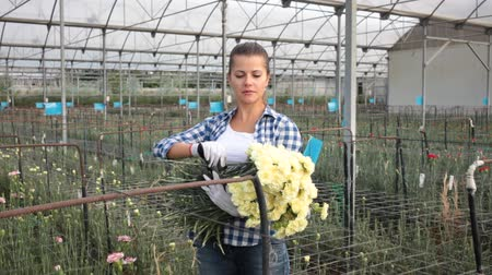 otuzlu yıllar : Woman gardener is standing with flowers carnation in orangery Stok Video
