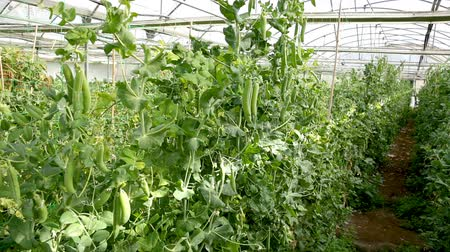 bezelye : Peas plants carefully growing in rows at glasshouse farm Stok Video