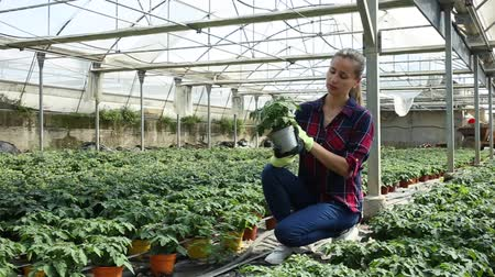 harvesting : Portrait of young woman working in hothouse, checking young potted tomato plants Stock Footage
