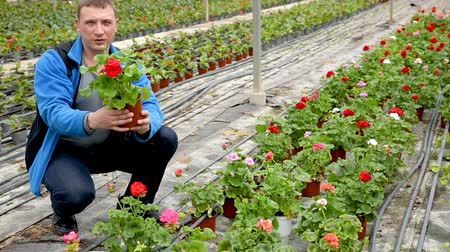 герань : Male farmer inspecting quality of potted Pelargonium ready to sale