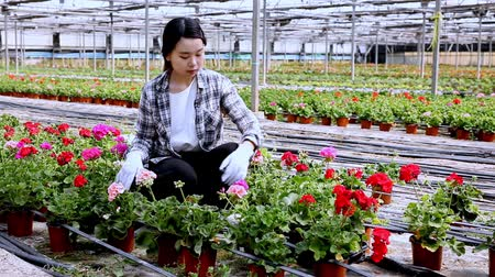 герань : Happy chinese woman or gardener holding flowers geranium in greenhouse Стоковые видеозаписи