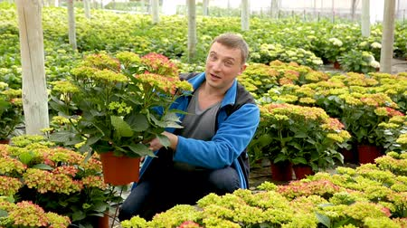 hortensia : Confident male florist working in hothouse, inspecting Hydrangea seedlings in pots