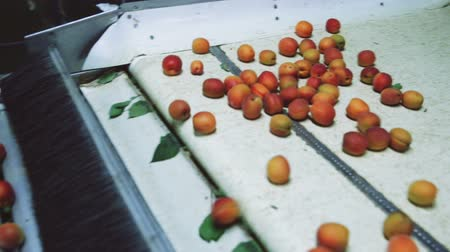 morele : Production facilities of grading and packing of harvest of apricots on agricultural farm Wideo