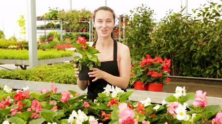 floriculture : Friendly smiling female florist holding a pot with a begonia plants in the hothouse Stock Footage