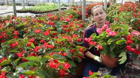 skillful : Portrait of successful woman farmer working in greenhouse, checking blooming begonias in pots