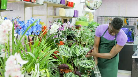 floriculture : Experienced African-American male florist spraying potted flowers in flower shop
