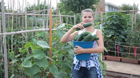 цуккини : Young woman gardener during harvesting of fresh cucumbers  in  garden