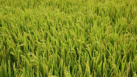kertészeti : Background with paddy rice field