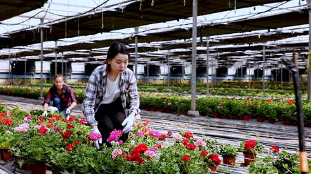 опытный : Experienced workers gardening in glasshouse, checking flowers of geranium