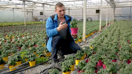 weather conditions : Young male horticulturist planting tomatoes  seedling in pots in greenhouse
