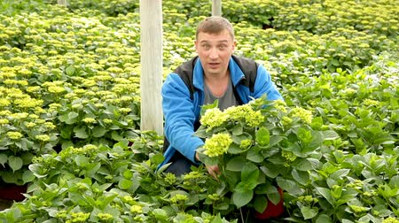 hortensia : Positive man florist looking for plant of  hortensia in pots while gardening in hothouse Stock Footage