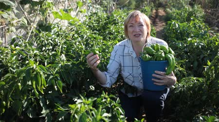 pimentas : Elderly female gardener controlling growing process of green pepper in vegetable garden Vídeos