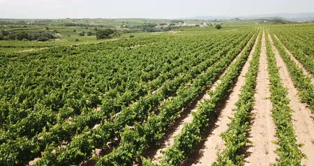szőlőművelés : Aerial view of rows of vineyard grape vines at sunny day Stock mozgókép