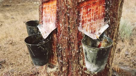 distillation : Cuts on pine trunk to collect resin