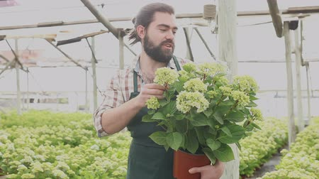 ortanca : Confident male florist working in hothouse, inspecting Hydrangea seedlings in pots
