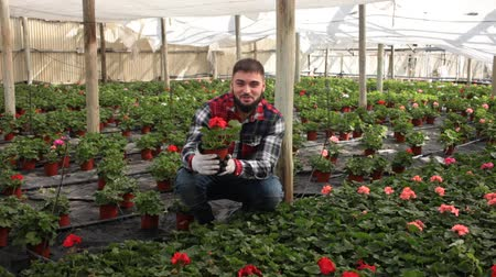 kertészeti : Young male farmer controlling quality of Pelargonium plants in glasshouse farm
