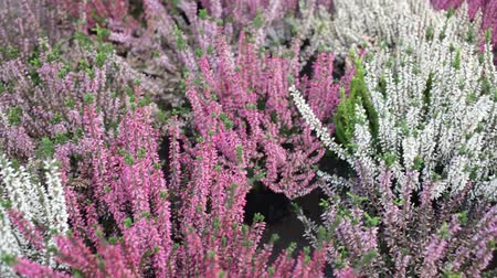 wrzos : Closeup of colorful blossoming of heather (Calluna vulgaris) cultivated in hothouse