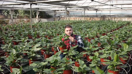 kertészeti : Man controlling quality of Spathiphyllum plants in glasshouse farm