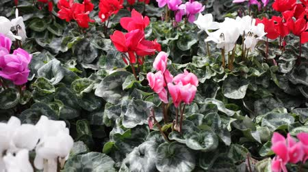 çekicilik : Closeup of colorful blooming cyclamens grown in pots in greenhouse on background of foliage greenery
