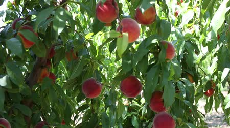 çekicilik : Fresh ripe peaches hanging on tree branches in summer fruit garden