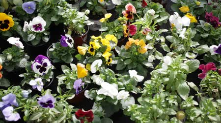 maceška : Closeup of colorful blooming  pansy grown in pots in greenhouse on background of foliage greenery