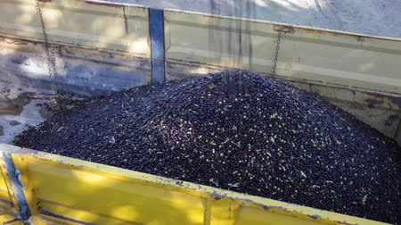 Olives harvest season. Pile of freshly picked olives loaded into truck